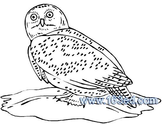 简笔画 鸟类/鸟类简笔画:猫头鹰6