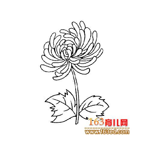 花卉简笔画 一朵盛开的菊花
